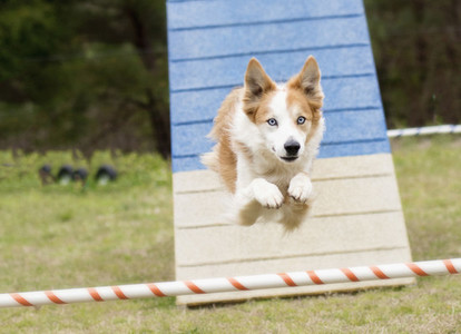 Dog in mid air running agility course