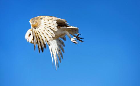 Owl in flight against sunny blue sky