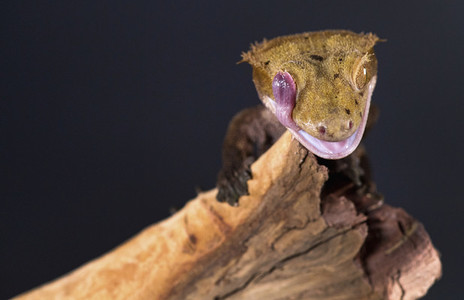 Close up Crested Gecko licking eye with tongue