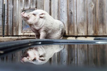 Cute pet pig at water dish
