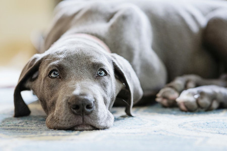 Portrait cute gray Great Dane puppy laying on rug