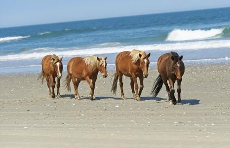 Wild brown horses walking on sunny beach