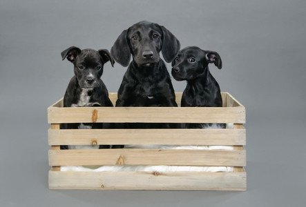 Portrait cute black puppies in wooden crate