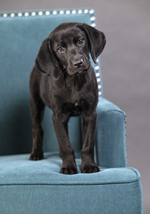 Portrait cute black puppy on blue armchair