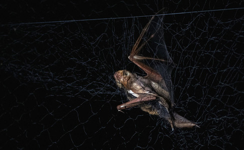 Bat stuck in net against black background