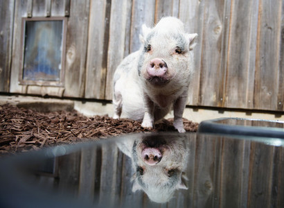 Portrait cute piglet at water dish