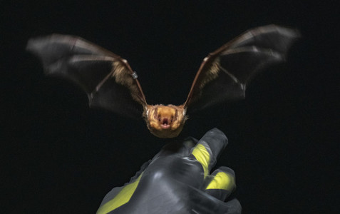 Bat flying towards camera