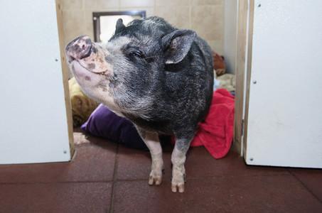 Portrait cute pet pig in doorway