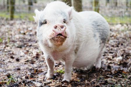 Portrait cute pig outdoors
