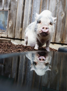 Portrait cute pig with reflection in water