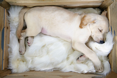 Cute tired yellow puppy sleeping on blanket in crate