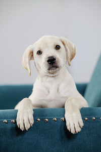 Portrait cute yellow puppy in teal blue chair