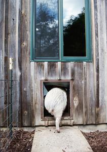 Pig entering pig door flap