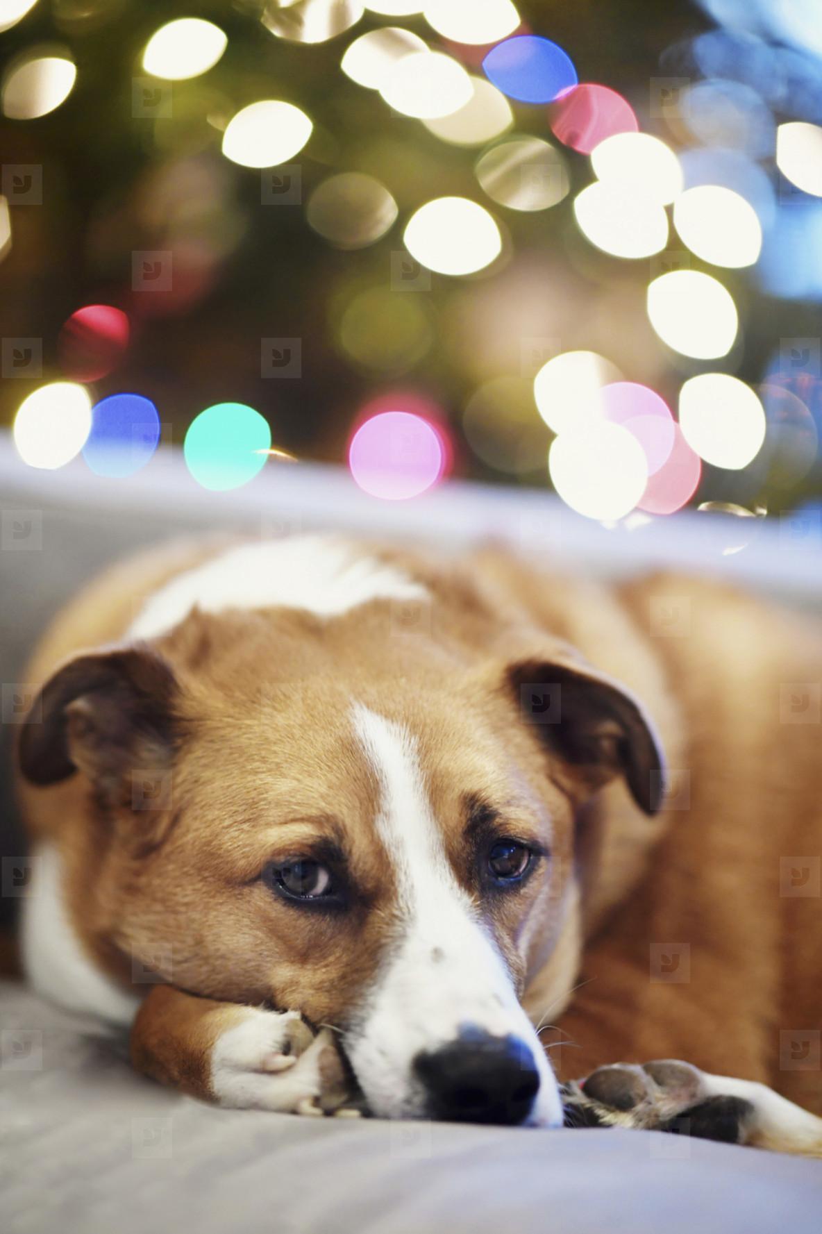 Portrait cute dog curled up on sofa near Christmas tree