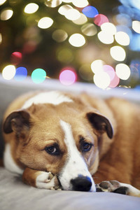 Portrait cute dog curled up on sofa near Christmas tree