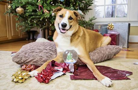 Portrait cute dog with snow globe under Christmas tree
