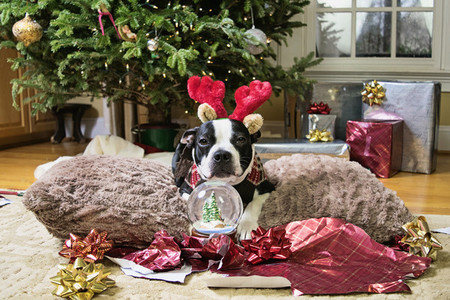 Portrait cute dog in reindeer antlers with snow globe by Christmas tree