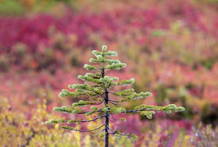 Small evergreen tree growing among colorful foliage