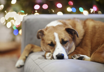 Cute dog sleeping on sofa near Christmas tree