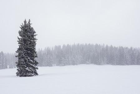 Single evergreen tree in snowy forest field