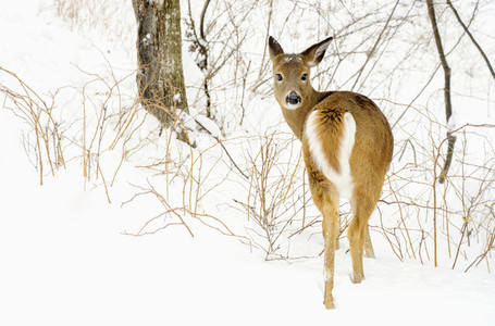 Portrait deer in snowy woods