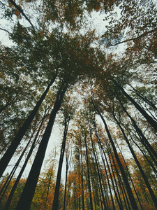Low angle view tall autumn trees in forest