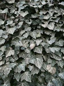 Green ivy leaves growing on bush