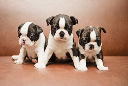 Three Boston Terrier puppies on leather sofa