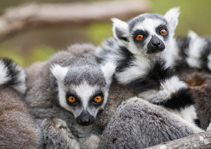 Portrait pile of lemurs