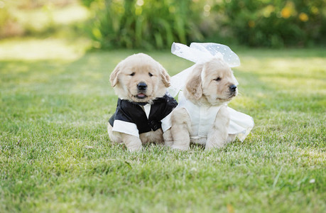Golden Retriever puppies dressed in bride and groom costumes