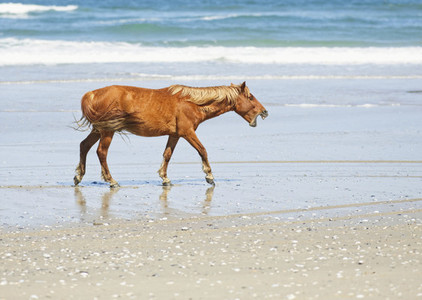 Wild horse calling out on sunny beach