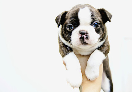 Portrait cute Boston Terrier puppy