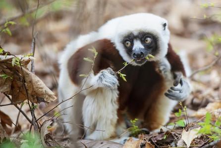 Lemur eating plant
