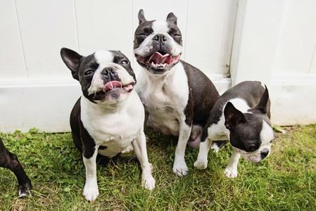 Portrait happy Boston Terrier puppies