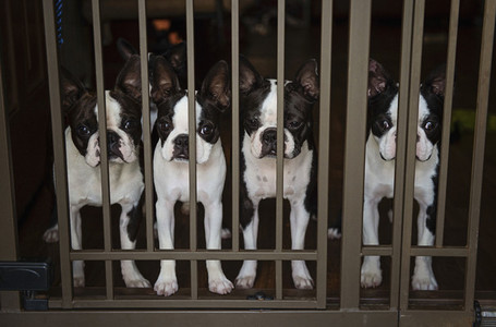 Portrait four Boston Terrier puppies behind gate