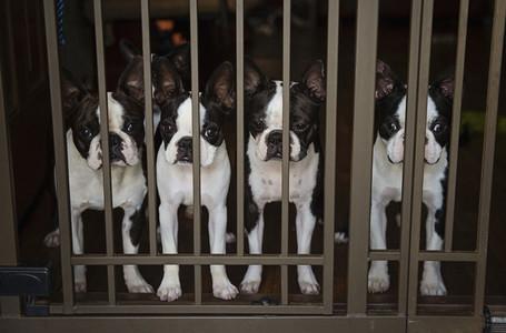 Portrait four Boston Terrier puppies behind gate