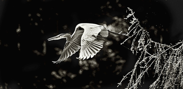 Large heron flying from tree