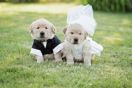 Portrait cute Golden Retriever puppies dressed in bride and groom costumes