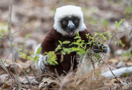 Portrait lemur eating plants