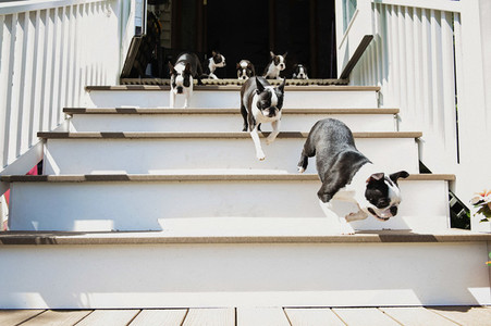 Boston Terrier puppies running down sunny stairs