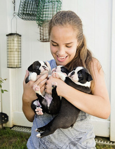 Teenage girl holding Boston Terrier puppies