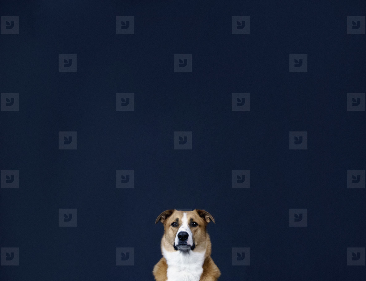 Portrait brown and white dog against dark blue background