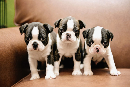 Portrait three cute Boston Terrier puppies on leather chair