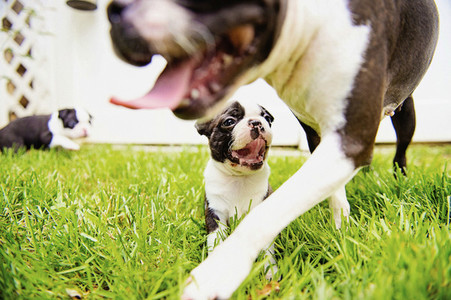 Boston Terrier puppies playing in grass