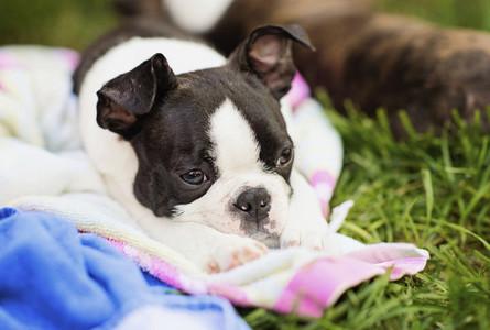 Tired Boston Terrier puppy sleeping on blanket in grass