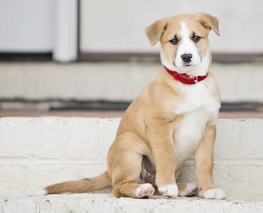 Portrait cute brown and white puppy sitting on stairs
