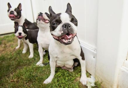 Portrait happy Boston Terriers along white fence
