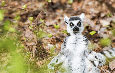 Portrait cute lemur sitting upright
