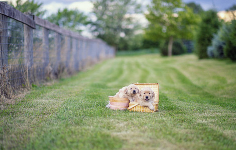 Cute Golden Retriever puppies in picnic baskets in grass field