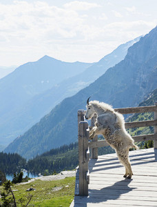 Mountain goat looking at view from overlook